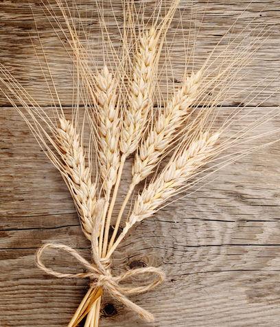 spighe grano